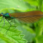 Beautiful Demoiselle (female), photographed at Moor Copse