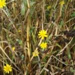 Corn Marigold (Chrysanthemum segetum)