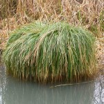 Greater Tussock Sedge