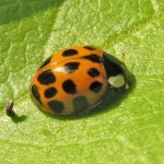 Harlequin ladybird (Harmonia axyridis var. succinea)