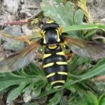 Xanthogramma citrofasciatum (a wasp-mimic hoverfly)