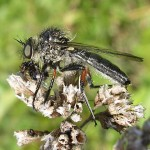 Leptogaster brevirostris, an unusual grassland robber fly