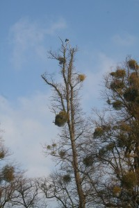 Ravens in the Tree