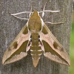 Spurge Hawkmoth (male)